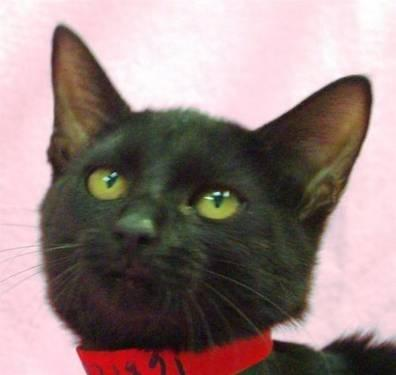 Domestic Short Hair - Salina - Small - Adult - Female -