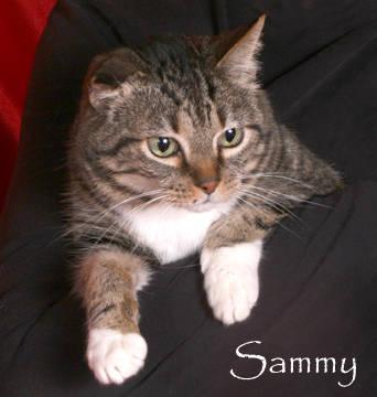 Domestic Short Hair - Sammy - Medium - Adult - Male -