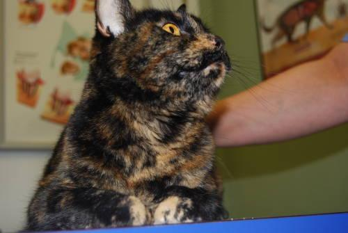 Domestic Short Hair - Sarah - Small - Adult - Female -