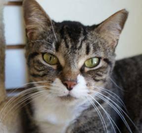 Domestic Short Hair - Sheba - Medium - Adult - Female -