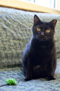 Domestic Short Hair - Shiloh - Medium - Adult - Female