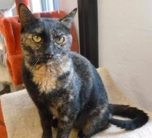 Domestic Short Hair - Squirt - Medium - Adult - Female