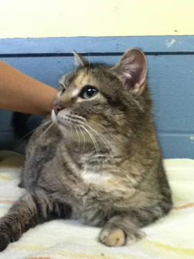 Domestic Short Hair - Stella - Medium - Adult - Female