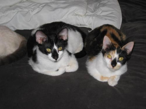Domestic Short Hair - Stinker And Patches - Medium -