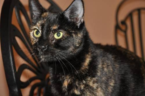 Domestic Short Hair - Trenton - Small - Adult - Female