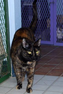 Domestic Short Hair - Venus Ii - Medium - Adult -