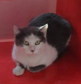 Domestic Short Hair - White - Bianca - Small - Adult -