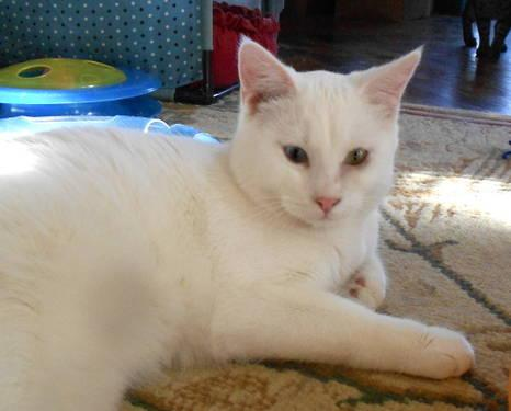 Domestic Short Hair - White - Scotty - Large - Adult -