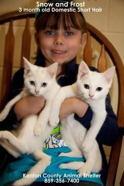 Domestic Short Hair - White - Snow - Small - Baby -