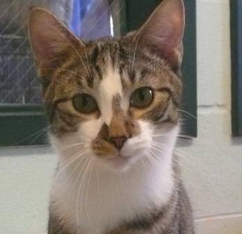 Domestic Short Hair Wild Man Small Young Male Cat For Sale In New Albany Indiana