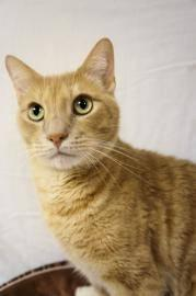 Domestic Short Hair - Winchester - Large - Adult - Male