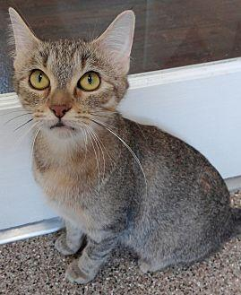 Dora Domestic Shorthair Young Female
