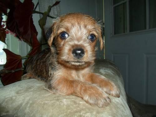 Dorkie puppies (yorkie/dachshund)