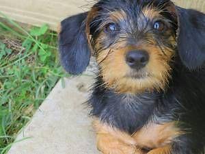 Dorkie puppy female (dachshund, yorkie mix) for Sale in Houston, Texas ...