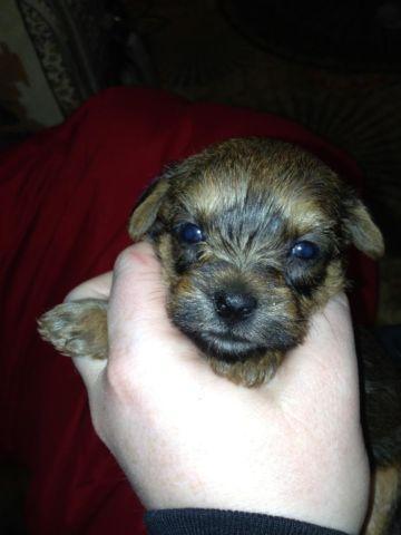 Dorkieyorkiedachshund Puppies For Sale In Philipsburg Montana