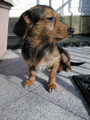 Mini Of Rochester >> Dorkies (Dachshund & Yorkshire Terrier mix) for Sale in ...