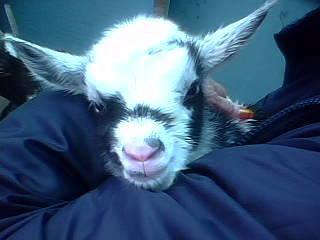 Dorper-St  Croix ram lamb for sale - $100