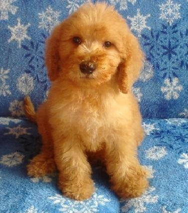 Double Doodle Pups Goldendoodle Labradoodle For Sale In