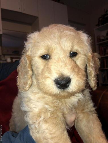 Doubledoodlegolden Doodle Puppies For Sale In Inverness