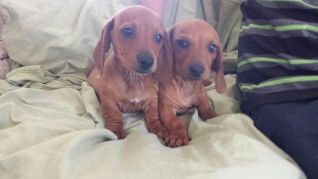 Doxie dogs