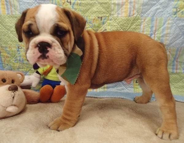 Dozer  Cute Bully 3/4 English Bulldog and 1/4 Frenchie