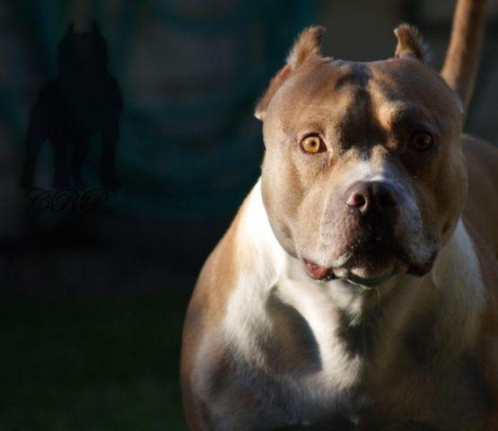 Dual CH Classic American Bully For Sale for Sale in Lathrop