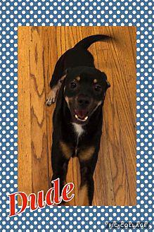 Dude Rat Terrier Puppy Male