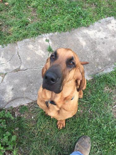 Duke Bloodhound Adoption Rescue