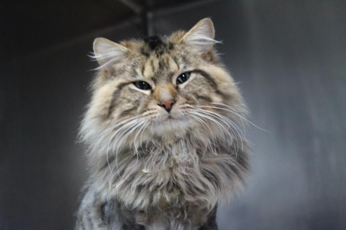 Dumbledore Maine Coon Adult - Adoption, Rescue for Sale in
