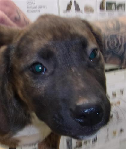 Duncan Mastiff Baby Adoption Rescue For Sale In