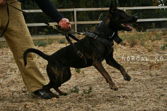 Dutch Shepherd Female- Work and Sport Extrodinare for sale in Byron