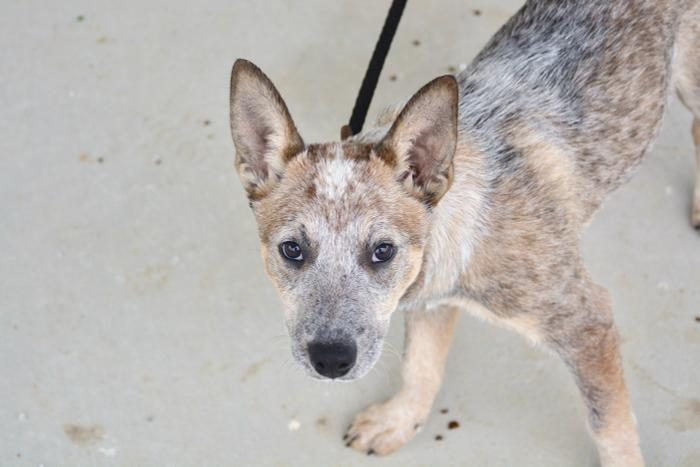 Australian Cattle Dog Puppies For Sale In Tn