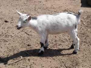 Dwarf Nigerian Goats - $75 (Chino Valley)