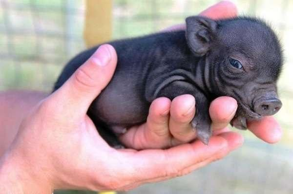 Each of our Teacup Piglet is $300.00