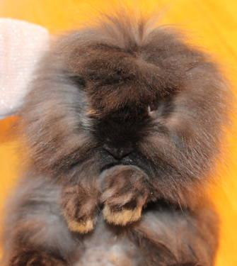 Easter Baby Lionhead Bunnies Bunny Rabbits Super Cute ...