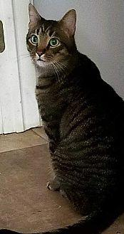 Echo Domestic Shorthair Adult Male