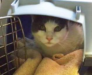 Ecko Domestic Short Hair Adult - Adoption, Rescue