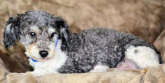 Eddie Toy Poodle Adult Male For Sale In Colorado Springs