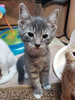 Eeyore Domestic Shorthair Kitten Male
