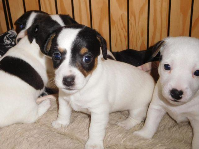 shorty jack russell terrier ejrtca shorty jack russell terrier puppies for sale in 5336