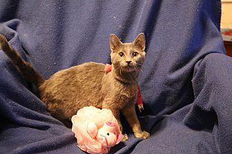 Russian Blue Kittens For Sale In Pennsylvania Classifieds Buy And Sell In Pennsylvania Americanlisted