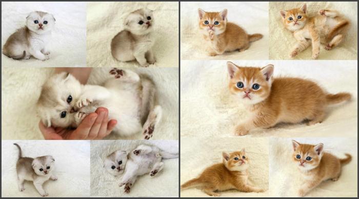 Elite scottish fold & scottish straight kittens rare color: golden, silver,  red ticked tabby (chinchilla / shaded / ginger)