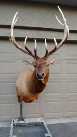 Elk Shoulder Mount 6x7 With Posts Quot Taxidermy Quot And