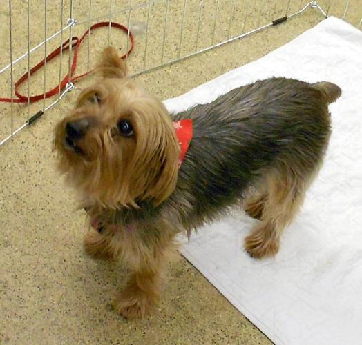 Ella Yorkshire Terrier Yorkie Adult - Adoption, Rescue for