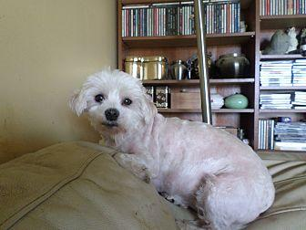 sale Adult maltese