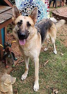 Ellie (Special Needs) German Shepherd Dog Adult Female