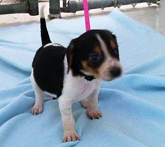 Treeing Walker Coonhound Puppies For Sale In North Carolina