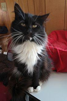 EMIL Domestic Longhair Senior Male