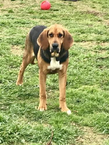 Emma Bloodhound Baby Adoption Rescue