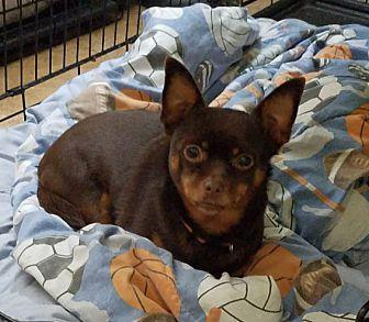 Emma Chihuahua Adult Female